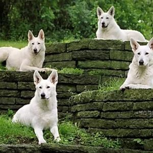 🐶 20% Donation to Echo Dogs White Shepherd Rescue
